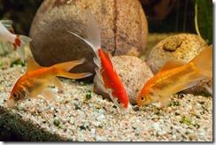 Reintroduced fish in my aquarium today