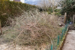 "What's left of our ""rose tree"" after the bloody snow devastated"