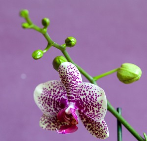 One of my orchids about to flower.
